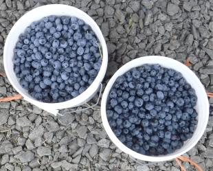 Hazen's 2016 U-Pick Blueberry Season Is In Full Swing! New Berry ...